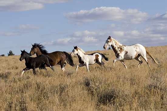 American Horse Breeds - Mustang