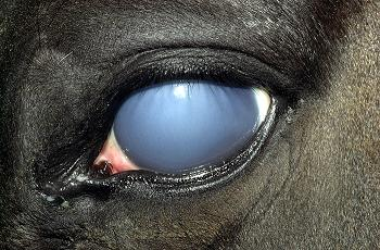 Equine Uveitis