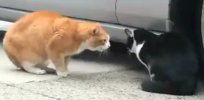 Video: Talking Cat Turf War