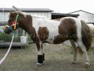 Miniature Horse Breed Photos