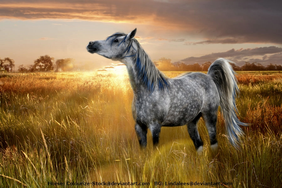 Arabian Horse Breed Photo