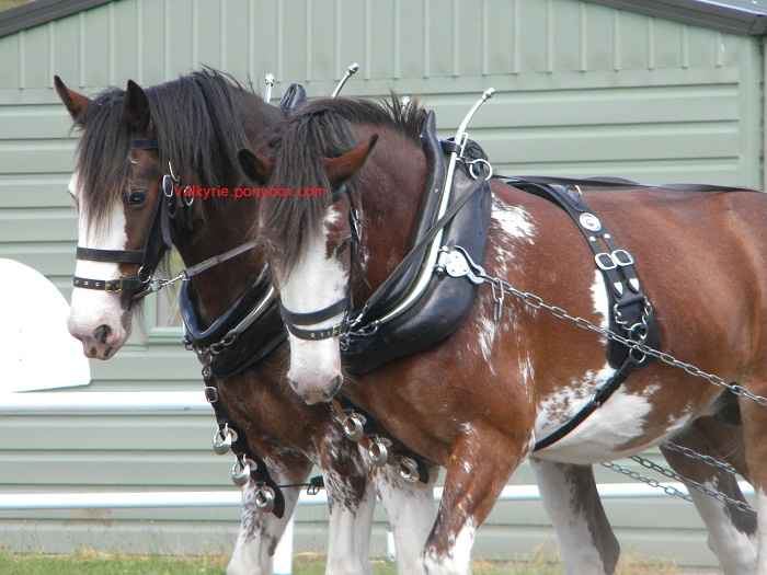 Clydesdale Horse Breed Photo