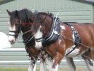 Clydesdale Horse Breed Photos