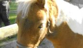 The Magic In Miniature Horses