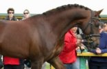 Dutch Warmblood Horse Breed Photos