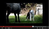 Suffolk Cross Yearling Sheep Bonds With Border Collie [Video]