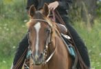 Morgan Horse Breed Photos