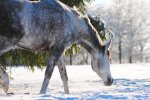 Veterinarians See Rise of Impact Colic During Winter Months
