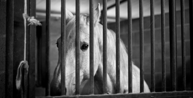 100,000 Horses Transported To Canada For Slaughter