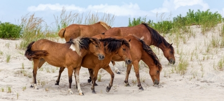 What Will Happen to the Sable Island Ponies
