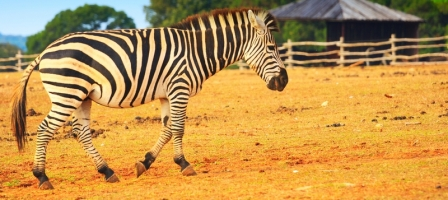 Can You Train A Zebra