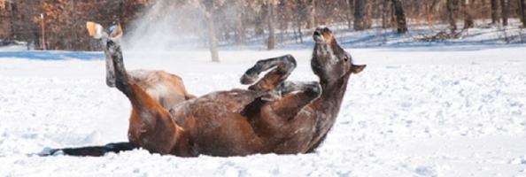 Horse Lice Infestation in the Winter Months