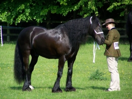 Dales Pony Facing Extinction - Only 1500 Left