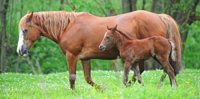 Should You Spay Your Mare From Breeding