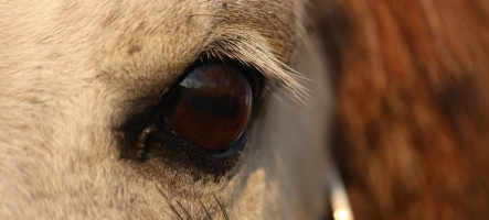 Horse Eye Problems and Infections