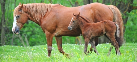 Horse Linebreeding Inbreeding and Outcrossing Basics