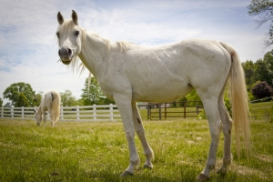 Project Arabian Horse Rescue