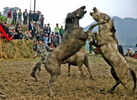 Horse Fighting For Fun