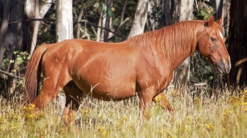 The Australian Brumby