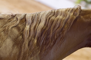 Equine Cushings Disease
