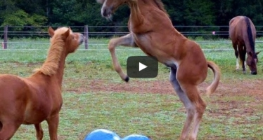 How Horses Play