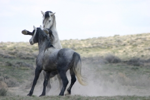 Horse Herd Behavior