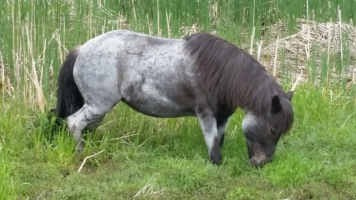 Newfoundland Pony Near Extinction