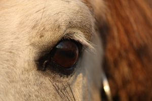Horse Eye and Behavior Relationship