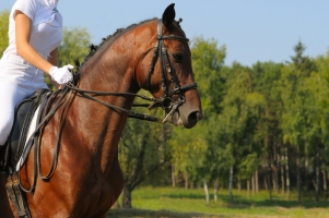 Warmblood Breeds Defined