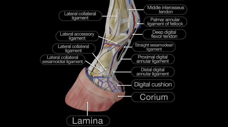 Explore Inside Your Horse With Equine 3D Anatomy App