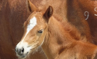 National Seashore Wild Foal Born During Hurricane