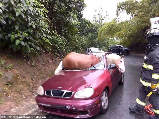 Horse Goes Through Car Windshield and Lives