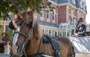 Rescue Homes For Carriage Horses