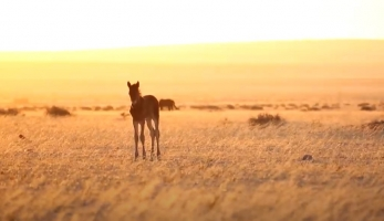 The Disappearing Desert Horses of Namibia