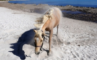 Woman Kicked By Wild Assateague Horse