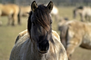 Love For Wild Horses Org Responsible for California Relocation