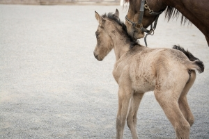 Endangered Wild Horse Cloned 22 Years After Sires Death