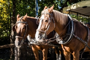 Carriage Horse and Driver Attacked by Dogs