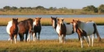 Swimming the Ponies at Chincoteague