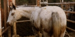 Equine Slaughter - The Truth